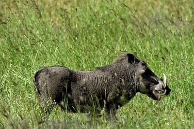 The common Warthog