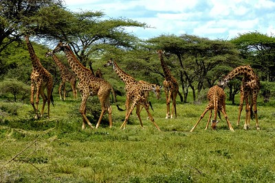 Giraffe drinking water at a small stream in the Ndutu woodlands