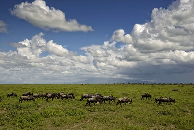 Wildebeest in their search for fresh grass head towards Ndutu
