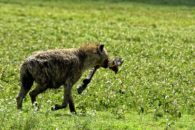 A hyena in Ndutu runs away with a zebra leg scavenged  from a lion kill