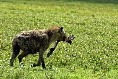 A hyena in Ndutu runs away with a zebra leg scavenged  from a lion kill