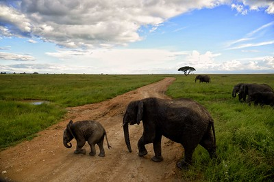 Elephant mother and calf cross the road in the central Serengeti