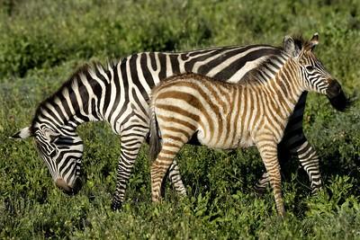 Zebra mother and calf Ndutu