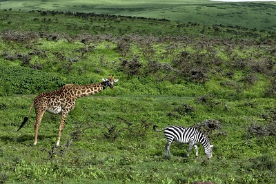 A giraffe and a zebra grazing on the rim of the Ngorongoro crater