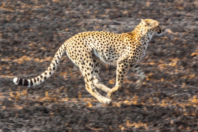 Cheetah, fastest animal on earth.  Can run up to 60 miles per hour.