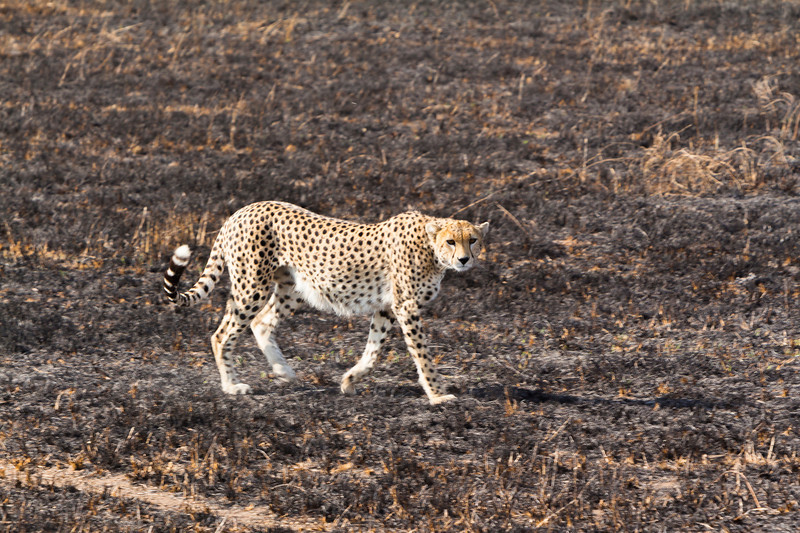 Cheetah mother getting ready to teach her cubs a hunting lesson.