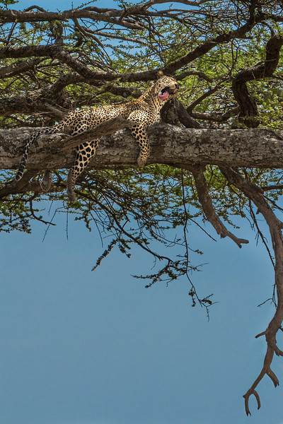 Leopard just yawning, then laid down again.  Nice safe spot in the tree.