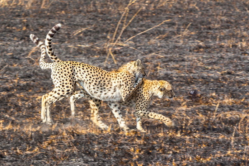 Cheetah cubs more interested in playing than hunting.