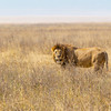 Male African Lion, big, strong and very dangerous