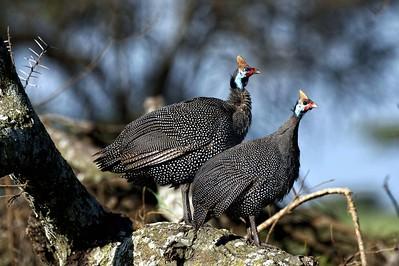 Helmeted Guinea Fowl
