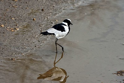 Blacksmith Plover ( Lapwing)