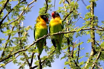 Yellow collared Lovebirds