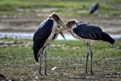 Marabou Storks