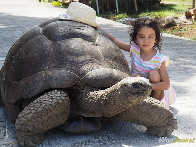 the famous giant aldabra tortoise from seychelles