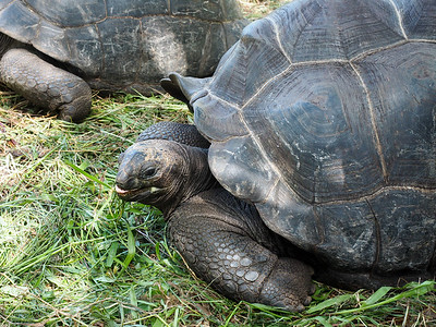 Aldabra Giant Tortoise in the Seychelles