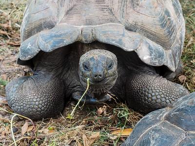Aldabra Giant Tortoise in the Seychelles