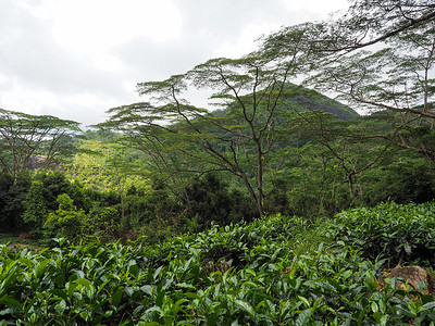 Tea plantation on Mahe Island