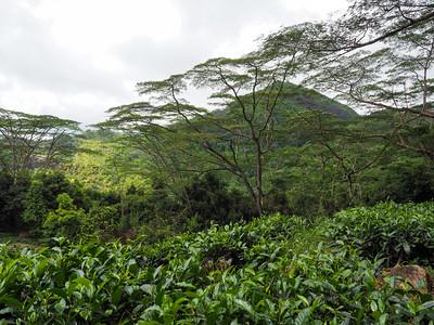 Tea plantation on Mahe Island