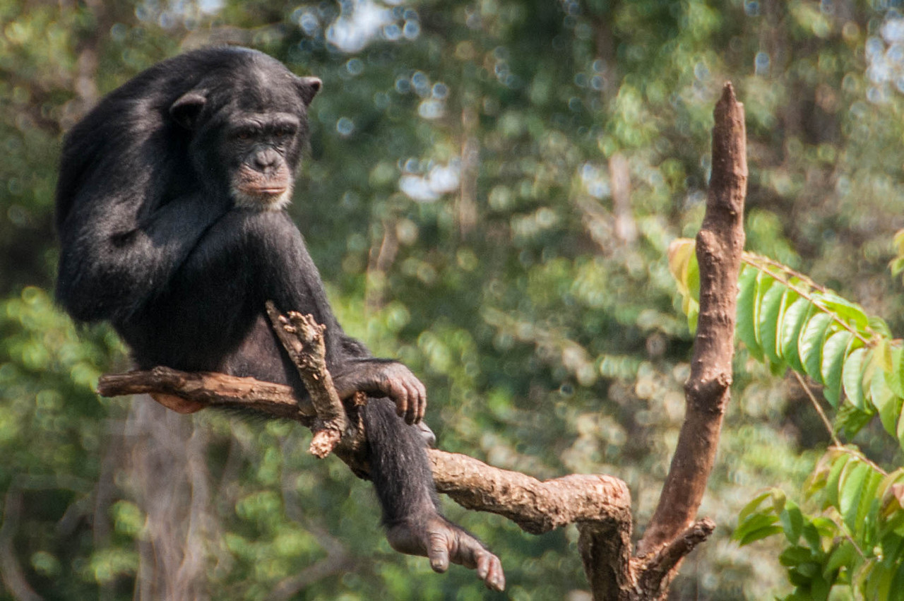 Chimp sanctuary in Freetown, Sierra Leone