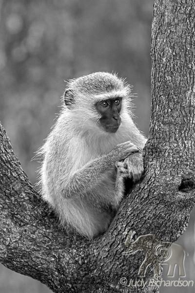 Vervet Monkey in Tree ~ Black & White