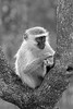 Vervet Monkey in Tree ~ Black & White