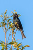 Forktailed Drongo