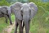 Elephant challenge at Elephant Plains.