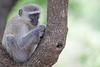 Vervet Monkey in tree in Elephant Plains