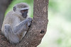 Vervet Monkey in tree in Elephant Plains