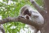 Vervet Monkey at Elephant Plains