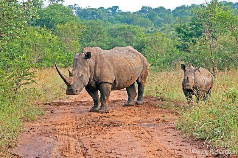 White Rhino with calf - Roadblock