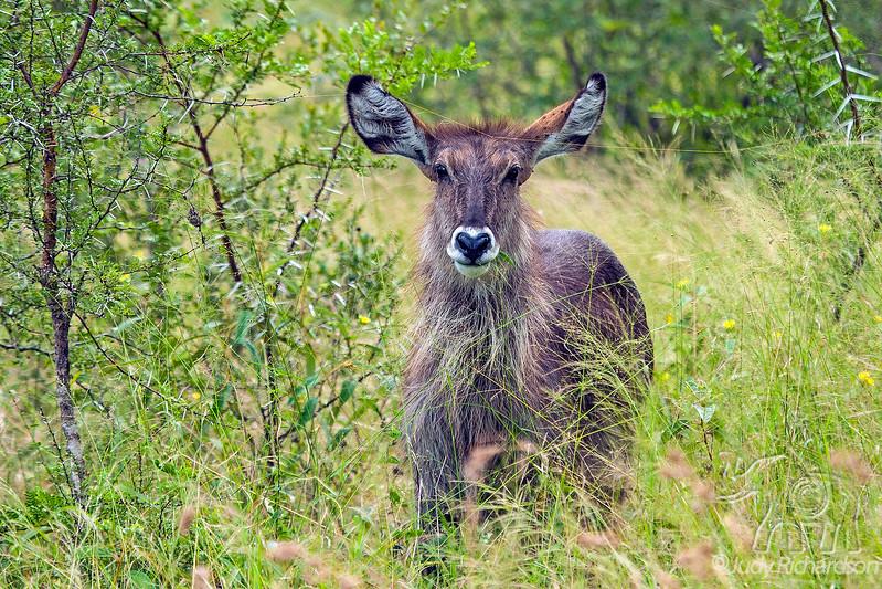 Waterbuck - Thornybush