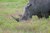 White Rhino eating grass