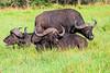 Cape Buffalo enjoying the grass