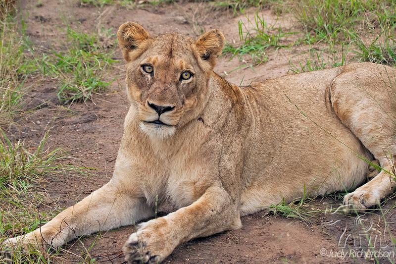 Female Lion at Elephant Plains Game Park