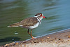 Triple-banded Plover