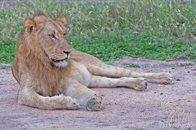 Male Lion keeping watch over females at Elephant Plains