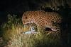 Leopards Mating-Little Bush Camp