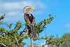 Yellowbilled Hornbill