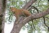 Watched Leopard jump and climb tree to survey area around ~ Little Bush Camp in Sabi Sabi, South Africa