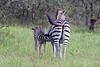 Baby Zebra nursing at Elephant Plains