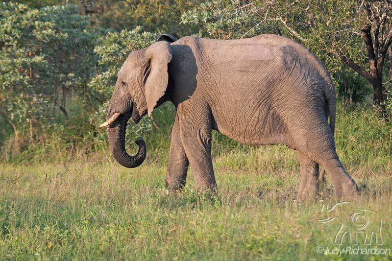 Elephant drinking water from small puddle at Elephant Plains