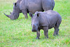 White Rhino ~ Curious
