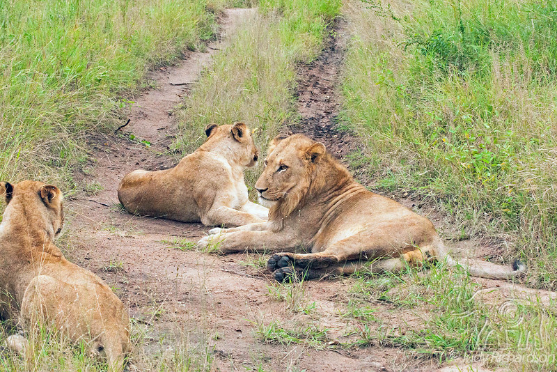 Road Blocked by Lions