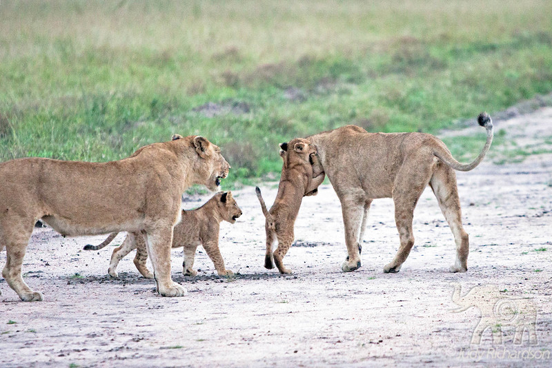 Cubs playing with adults-Little Bush Camp