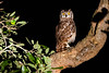 Spotted Eagle Owl at night. Little Bush Camp, Sabi Sabi