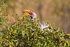 Yellow-billed Hornbill catching a bug at Little Bush Camp, Sabi Sabi