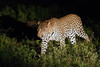 Leopard at night in Elephant Plains
