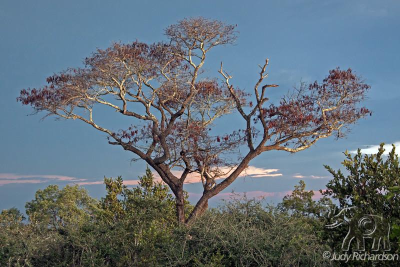 Sunset on tree in Elephant Plains