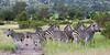 Zebra Herd